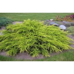 Хвойна с жълти връхчета (Juniperus Pfidzeriana - Old Gold)