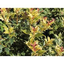 Османтус -Растение мечта(Osmanthus heterophyllus 'Goshiki')