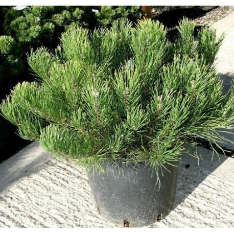 Клек (Pinus mugo mughus)