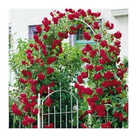 Рози катерливи( Rosa climbing mixs)