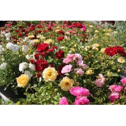 Чаени рози - различни цветове (Rosa in sorten)