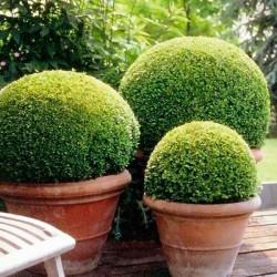 Чeмшир (Buxus sempervirens) -.