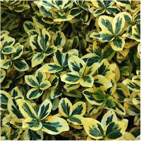 Евонимус - нисък, стелещ (Euonymus fortunei 'Emerald 'n' Gold')