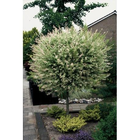 Японска розова върба (Salix integra 'Hakuro-nishiki' - 'Flamingo')