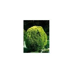 Източна туя златиста ( Thuja aurea nana)