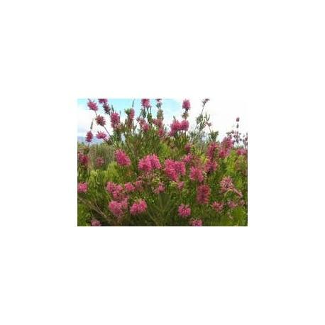 Ерика  лятно цъфтяща (Erica vernicilata)