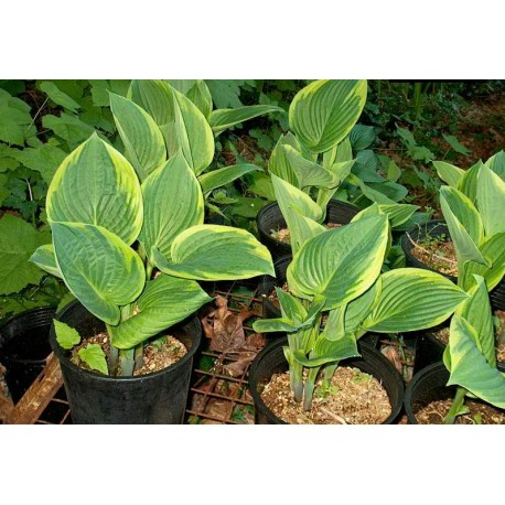 Хоста (Hosta aurea marginata')