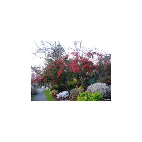 Котонеастер (Cotoneaster floccosus)