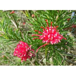 Гривелия (Grevillea rosmarinifolia)
