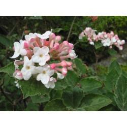 Вибрунум (Viburnum carlesii)