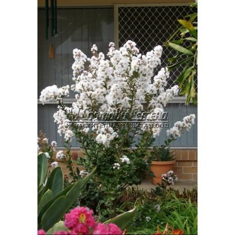 Индийски люляк бял (Lagerstroemia )