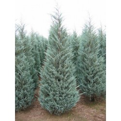 "Хвойна изправена ( Juniperus scopularum ""Moonglow"")"