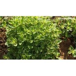 Лимонова Мащерка /Thymus citriodorus - Lemon Thyme