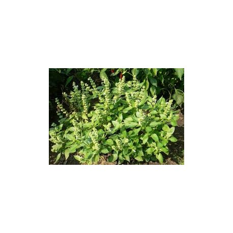 Босилек (Ocimum basilicum)
