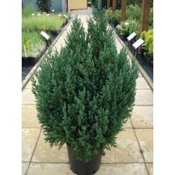 Изправена хвойна (Juniperus chinensis 'Stricta')