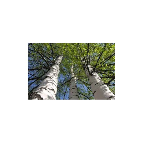 Бреза (Betula alba)