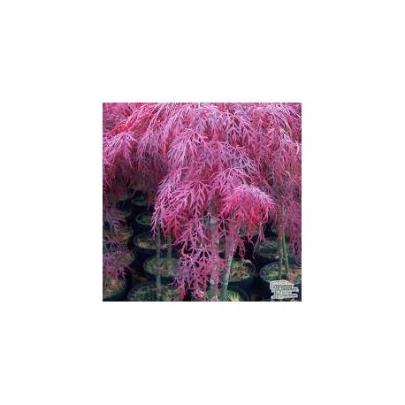 Японски клен (Acer palmatum garnet)