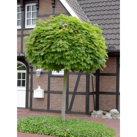 Кълбовиден явор(Acer platanoides globosum)