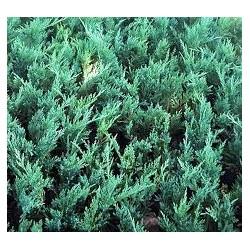 стелеща синя  хвойна  (Juniperus hetzii)