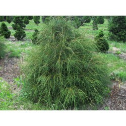 Туя западна филиформис ( Thuja filiformis)