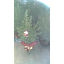 Коледно дръвче( Picea konika)