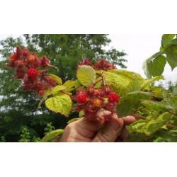 Японска  малина- (Rubus phoenicolasius)