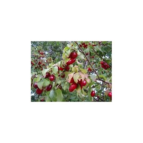 Дрян едроплоден   (Cornus mas sp.)