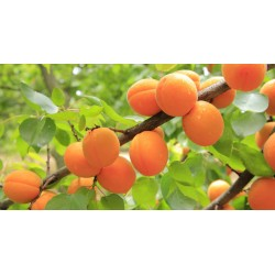 Кайсия (Prunus armeniaca)