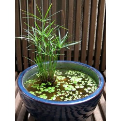 Циперус Водна Плама-блатни треви(Ciperus diffusus)