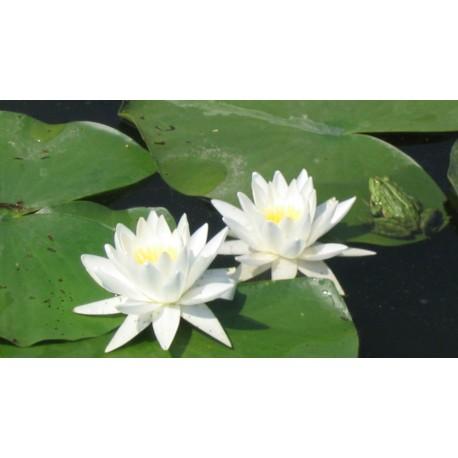Водна Лиля -Лотос(Nymphaea sp.)
