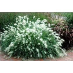 Пеницетум -Степни декоративни треви(Pennisetum sp.)