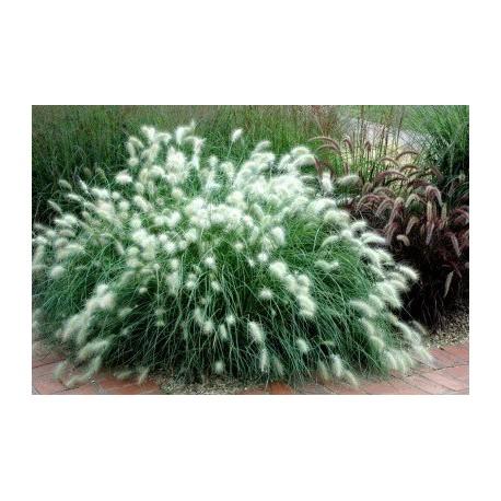 ПеницетумСтепни декоративни треви(Pennisetum sp.)