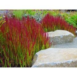 Императа -Декоративна пурпурна трева(Imperta cilindrika)