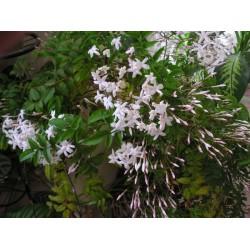 Жасмин  бял (Jasminum officinalis)