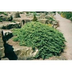 Хвойна-джудже ( Juniperus Procumbens nana)