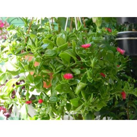 Аптения (Aptenia cordifolia) Висаща саксия
