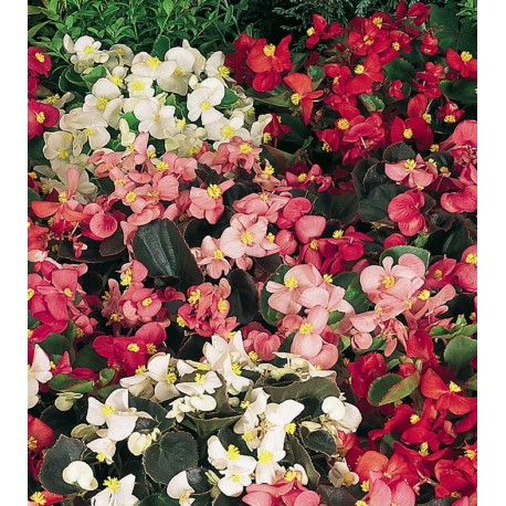 Вечно цъфтяща бегония (Begonia semperflorens)