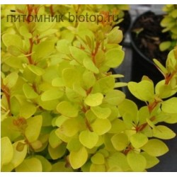 Златист берберис - (Berberis 'Tiny Gold')