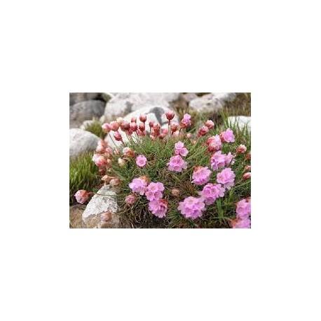 армерия - лъжичниче (Armeria maritima red)