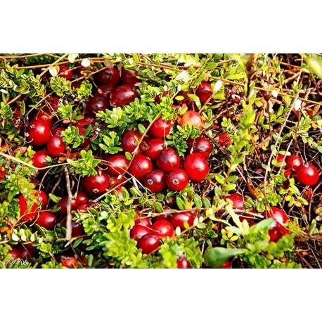 Боровинка Червена (vaccinium vitis idea)