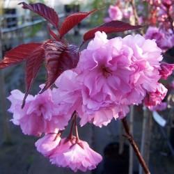 Японска вишна (Prunus serrulata Kiku Zakura)