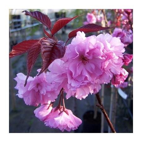 Японска вишна (Prunus serr. Royal Burgundy)