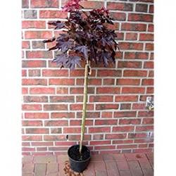 Червено листен явор  /шестил/(Acer platanoides Crimson Sentry)