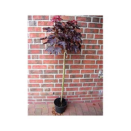 Червено листен явор  /честил/(Acer platanoides Crimson Sentry)