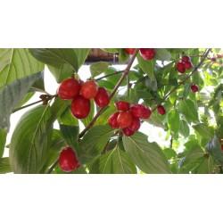 Дрян едроплоден ( Cornus mas sp.)
