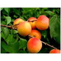 Кайсия (Prunus armenika)