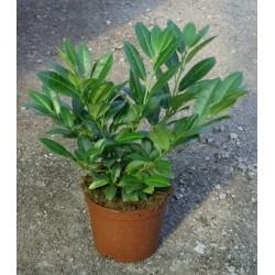 Лавровишна  дребнолистна(Prunus laurocerasus 'schipkaensis')
