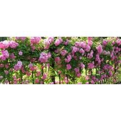 Рози мини  катерливи -   (Climbing Rose)