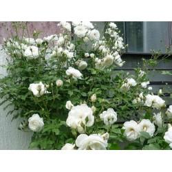 Рози катерливи - различни цветове (Climbing Rose)