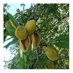 Бадем-(Prunus dulcis)